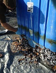 State aquatics worker scrapes off gooseneck barnacles from plastic bin. These grow in flotsam in the world&#39;s open oceans.