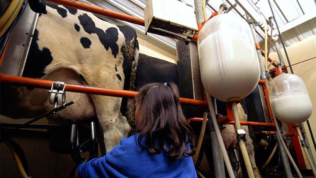 Cows Make 'Hypoallergenic' Milk