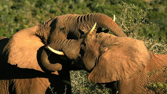 How Bomb Tests Could Date Elephant Ivory