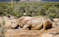 An injured white rhino after poachers sawed off its horn on South Africa's Aquila Game Reserve in 2011. South Africa is exploring the legal trade of rhino horn to counter a poaching bloodbath that has surged despite tighter security controls, the environment minister says.