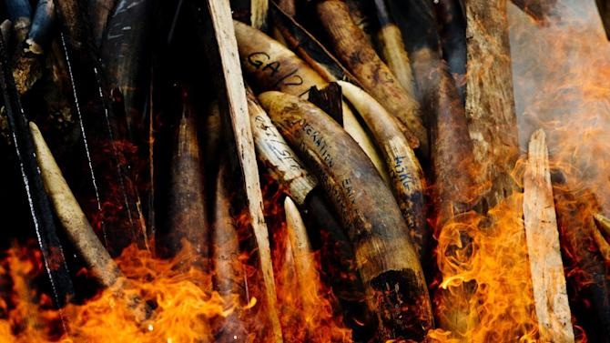 COMMERCIAL PHOTO - In this photograph released by WWF-Canon via AP Images, seized ivory goes up in smoke in Libreville, Gabon, on Wednesday, June 27, 2012, in a ceremony to symbolise Gabon's commitment to ending poaching and other wildlife crimes. An estimated 5,000 to 12,000 elephants are killed each year for their ivory. Gabon's President Ali Bongo Ondimba last year created an elite military unit whose mission is to secure Gabon's parks and to protect wildlife, especially against poaching and illegal trade of ivory and the confiscated ivory was a product of this crackdown. Across Central Africa, thousands of elephants are killed each year for their tusks, which are in demand as carvings and ornaments in Asia. To verify that all Gabon's tusks were accounted for before being burned, an independent inventory and audit of the country's stockpiles has been undertaken by the government, with support from TRAFFIC and WWF experts and other independent observers. (WWF-Canon / James Morgan via AP Images)