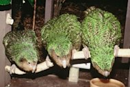 Three rare green kakapo parrots on Codfish Island. The flightless nocturnal birds, while essentially ground dwelling, are strong climbers but freeze when confronted by a threat, making them easy pickings for predators