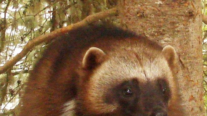 "This undated image provided by the U.S. Fish and Wildlife Service shows a badger. Add the tenacious wolverine, a snow-loving predator sometimes called the ""mountain devil,"" to the list of species the government says is threatened by climate change. Federal wildlife officials on Friday, Feb. 1, 2013, will propose Endangered Species Act protections for the rare animal in the lower 48 states — a step twice denied under the Bush administration. (AP Photo/U.S. Fish and Wildlife Service)"