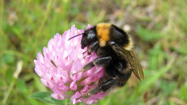 This undated photograph made available by ecologist Nikki Gammans shows a short haired bee on red clover in New Zealand. They've been away but now they are -- hopefully -- buzzing back to their rightful place in the bucolic British countryside. Around 50 short-haired bees were released into an English nature reserve Monday May 28, 2012, some two decades after they were wipe out from most of rural Britain. The reintroduction plan has been supported by farmers who have agreed to grow flowers and plants that help bees flourish. 'Our farmland always used to have wild flower borders. We are just asking farmers to go back to the way things were and the response has been overwhelmingly positive,' ecologist Nikki Gammans told the Associated Press. (AP Photo/Nikki Gammans, HO)