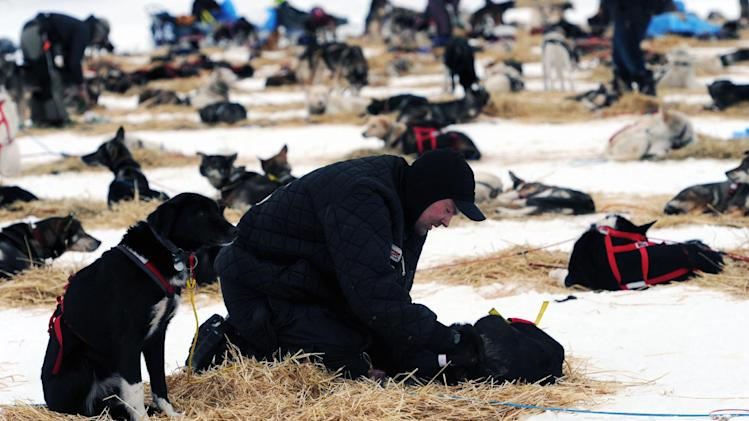 Ken Anderson puts booties on a lead dog, named Regret, at the Finger Lake checkpoint in Alaska during the Iditarod Trail Sled Dog Race on Monday, March 4, 2013. (AP Photo/The Anchorage Daily News, Bill Roth)