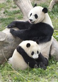 How to Recover From the Ravages of Google Penguin and Panda image giant pandas 300x420