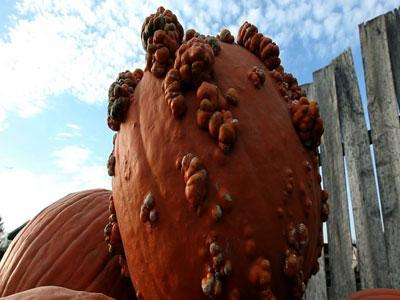 Raw: Pumpkin farmers benefiting from drought