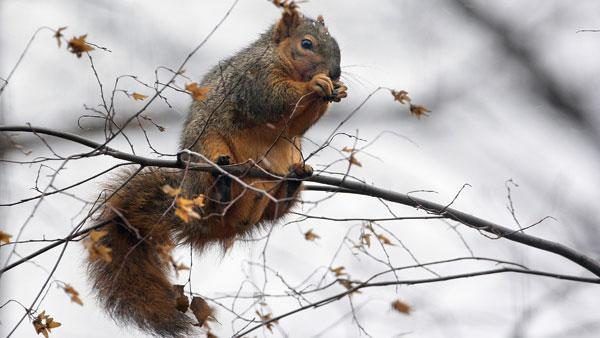 Squirrels take up residence in Apex woman's home