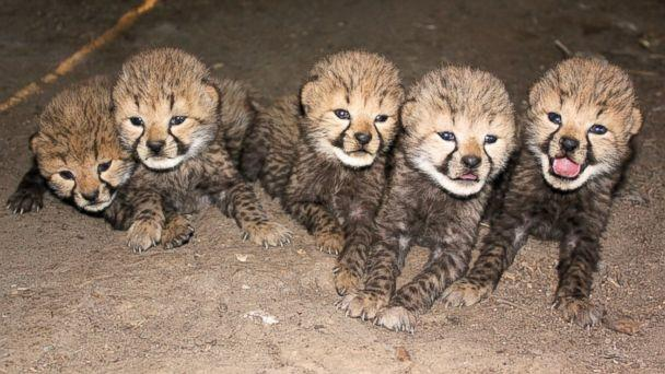 Five Cheetah Cubs Born at Metro Richmond Zoo
