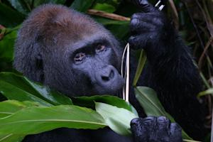 Gorillas to Be Protected with New Congo National Park