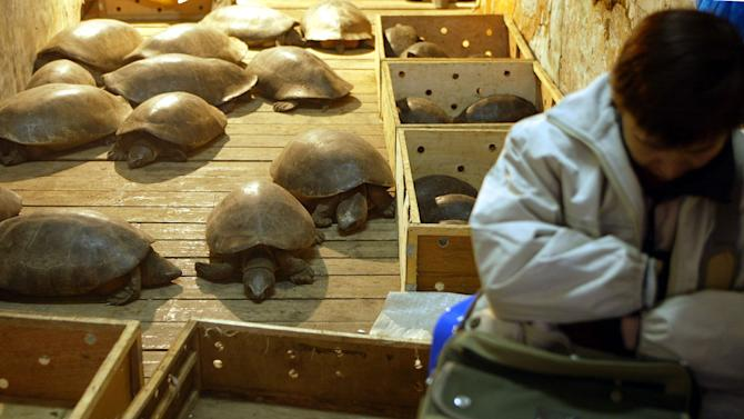 File photo of a vendor sleeping next to giant tortoises she sells for eating in a market in Guangzhou