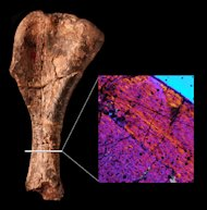The patterns in this bone scan indicate that the bone fibers are disorganized, like those of other early dinosaurs.