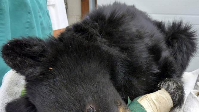 FILE - This undated file photo provided by the Idaho Department of Fish and Game shows a black bear cub nicknamed Boo Boo that had been burned in a wildfire in eastern Idaho in August 2012. The cub, which had second-degree burns on all four of its paws, is improving and has been moved to a rehabilitation area in central Idaho. (AP Photo/Idaho Department of Fish and Game, Tricia Hebdon, File)