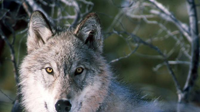 **FILE ** This Jan. 9, 2003 file photo shows a gray wolf watching biologists in Yellowstone National Park in Wyoming, after being captured and fitted with a radio collar.  The State of Wyoming and U.S. Dept. of Interior are expected to announce an agreement Wednesday Aug. 3, 2011 on ending federal protections for wolves in the state. (AP Photo/U.S. Fish and Wildlife Service, William Campbell, File)