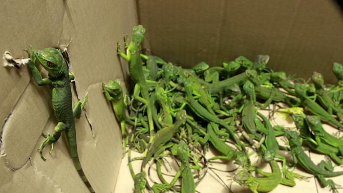 Rescued baby iguanas are pictured in a cardboard box, in an office of the Ministry of Environment in San Jose