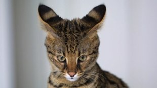 A 4-month-old F1 Savannah cat