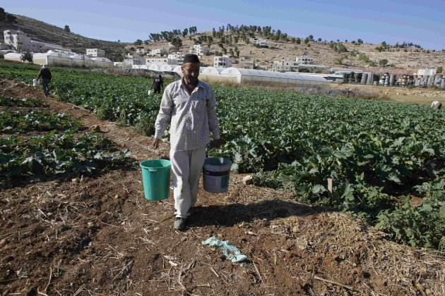 A Palestinian man carries buckets of freshly harvested zucchinis at his field south of Hebron