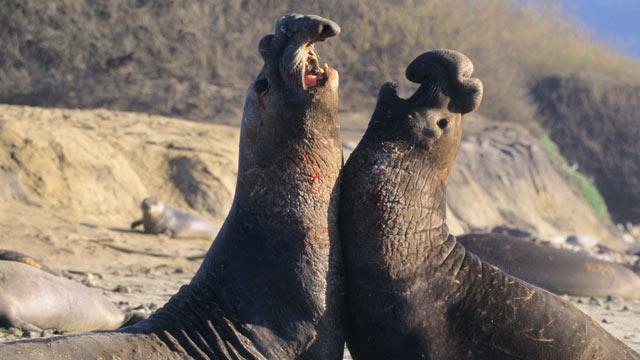 Elephant Seals Could Reveal Insights on Planet's Health