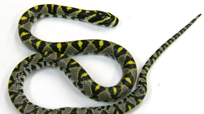 This photo released by Australia's Department of Agriculture, shows a 20-centimeter (8-inch) Mandarin Rat Snake that was found in the passenger cabin of a Qantas Boeing 747 airliner, in Sydney, Monday, Sept. 23, 2013. The tiny exotic snake was found on the airliner late Sunday, Sept. 22 before passengers were due to board the flight bound for Tokyo from Sydney International Airport, Qantas said in a statement. (AP Photo/Department of Agriculture)