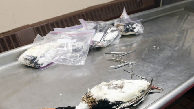 A dead red-breasted merganser duck sits on an examine table at the New York State Department of Environmental Conservation's wildlife health unit on Thursday, March 6, 2014, in Delmar, N.Y. Hundreds of fish-eating ducks, mostly red-breasted mergansers, have been found dead along lakes Erie and Ontario, where unusually heavy ice cover has made it hard for the birds to get the minnows they depend on. (AP Photo/Mike Groll)