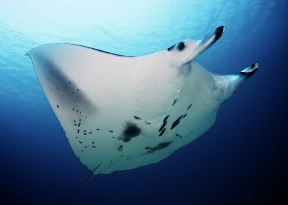 Secret Lives of Manta Rays Revealed