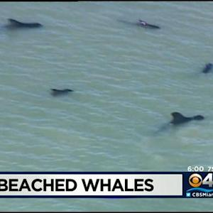 Marine Animal Experts Attempt To Save Dozens Of Whales Stranded In Remote Location