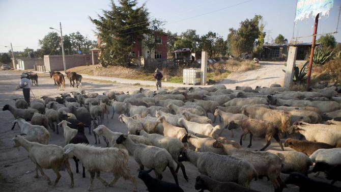 Goats are herded past the home where the radiation head that was part of a radiation therapy machine sits on the front patio, placed their by the family who found the stolen equipment abandoned in a nearby field, in the village of Hueypoxtla, Mexico, Friday, Dec. 6, 2013. The truck that was hauling the equipment was found abandoned Wednesday about 40 kilometers (24 miles) from where it was stolen, and the container for the radioactive material was found opened. Authorities continued to work on Friday at the site where the material was found to extract it safely. (AP Photo/Eduardo Verdugo)