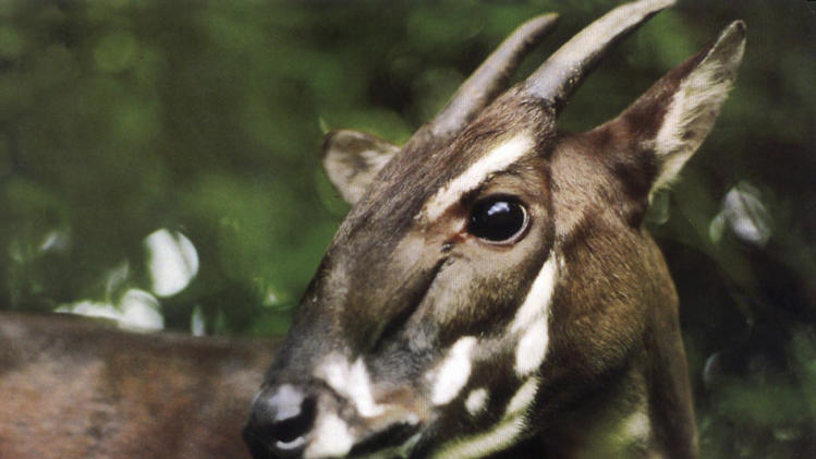 "In this undated photo released by the international conservation group WWF, a saola pauses in the jungle of Vietnam. A new nature reserve in Quang Nam, central Vietnam, raises hope for the survival of the recently discovered and critically endangered antelope-like species called the saola, an official said Monday, April 18, 2011. The saola looks like a small deer or antelope with two horns, even though it's locally called an Asian ""unicorn."" (AP Photo/WWF)"