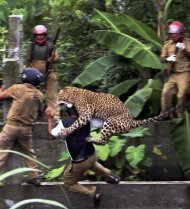 In this July 19, 2011 photo, a leopard attacks a forest guard at Prakash Nagar village near Salugara, on the outskirts of Siliguri, India. The leopard strayed into the village area and attacked several villagers, including at least four guards, before being caught by forest officials, according to news reports. The leopard, which suffered injuries caused by knives and batons, died later in the evening at a veterinary center. The forest guard being attacked was injured. (AP Photo) INDIA OUT