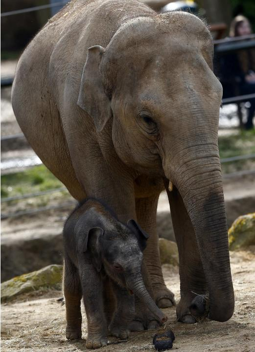 A baby Asian Elephant stands with its mother at Twycross Zoo central England