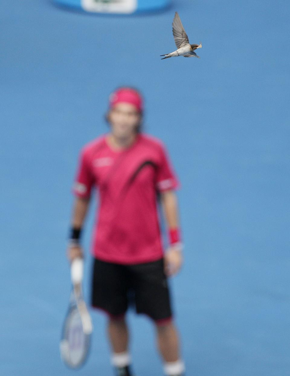 A bird flies across Rod Laver Arena with food in it's mouth as Slovakia's Lukas Lacko looks on during his third round match against Spain's Rafael Nadal at the Australian Open tennis championship, in Melbourne, Australia, Friday, Jan. 20, 2012. (AP Photo/John Donegan)