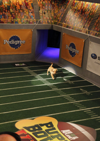 "This undated publicity photo provided by Animal Planet shows a dog, Fumble, during the kitty half-time show for ""Puppy Bowl VIII,"" in New York. The ""Puppy Bowl,"" an annual two-hour TV special that mimics a football game with canine players, made its debut eight years ago on The Animal Planet. Fumble, the spcaLA's entry in ""Puppy Bowl VIII,"" earned the game's Most Valuable Pup crown. (AP Photo/Animal Planet, Kimberly Holcombe)"