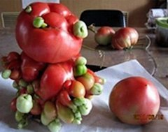 HT fukushima fruit 3 nt 130717 19x15 384 Deformed Vegetables, Fruit Reportedly Pop Up Around Japan Nuclear Plant