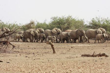 Poaching threatens Mali's rare desert elephants: U.N. mission