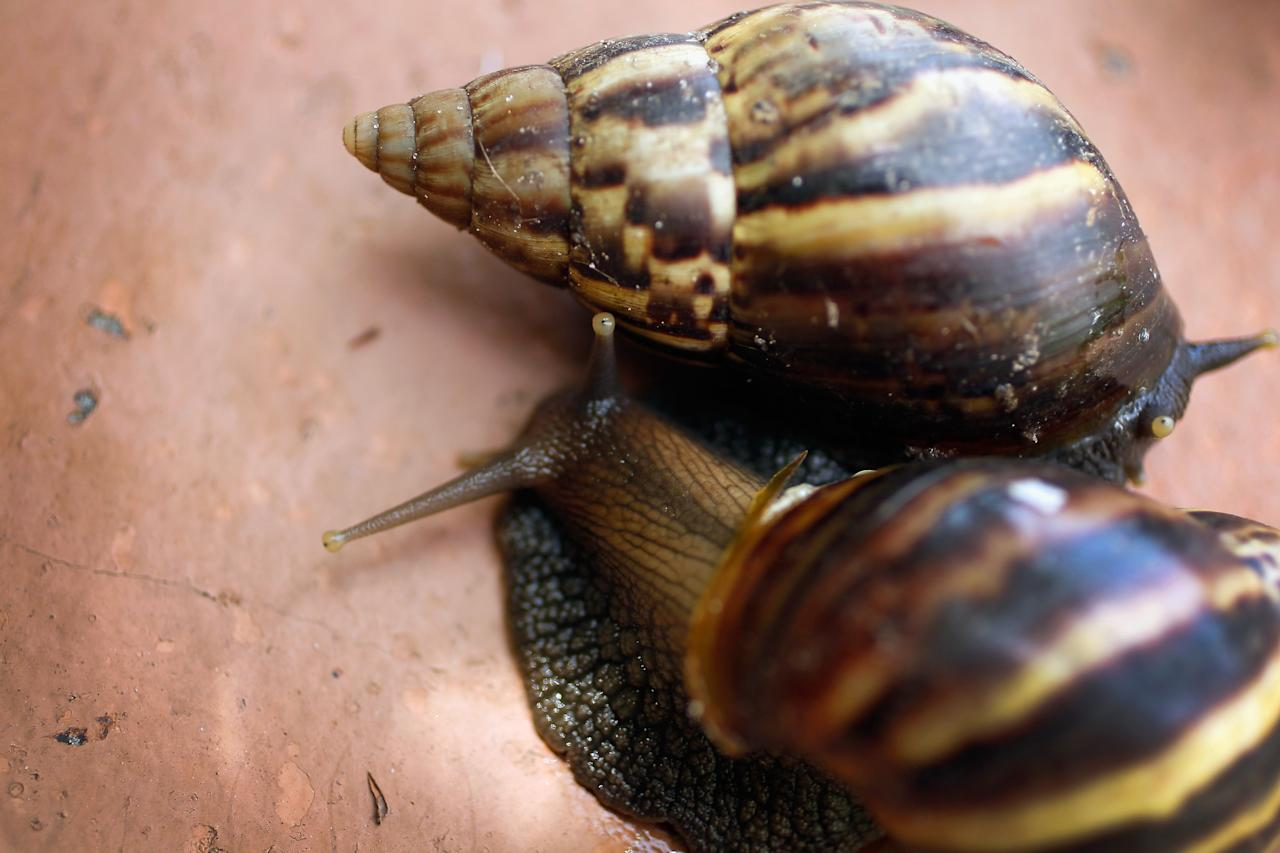 MIAMI, FL - SEPTEMBER 15:  Giant African land snails are seen as the Florida Department of Agriculture and Consumer Services announces it has positively identified a population of the invasive species in Miami-Dade county on September 15, 2011 in Miami, Florida. The Giant African land snail is one of the most damaging snails in the world because they consume at least 500 different types of plants, can cause structural damage to plaster and stucco, and can carry a parasitic nematode that can lead to meningitis in humans. An effort to eradicate the snails is being launched. The snail is one of the largest land snails in the world, growing up to eight inches in length and more than four inches in diameter.  (Photo by Joe Raedle/Getty Images)