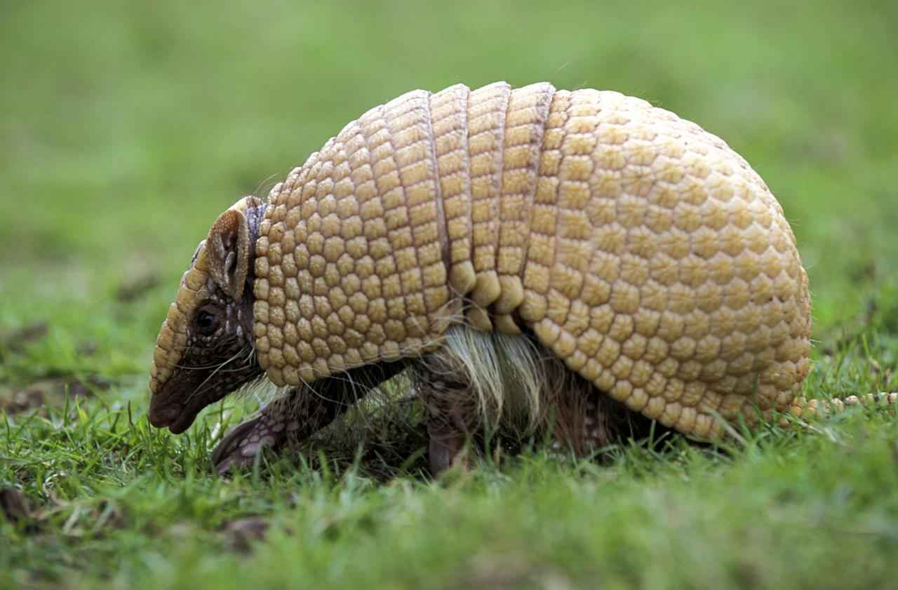 "A handout undated picture released by A Caatinga NGO shows a Brazilian Three banded armadillo (Tolypeutes tricinctus), aka Tatu-Bola in Portuguese. The Tatu-Bola was chosen as the mascot of the FIFA World Cup Brazil 2014 and will be presented next September 16 during a television programme.   AFP PHOTO/ Mark PAYNE-GILL/naturepl.com/A Caatinga     RESTRICTED TO EDITORIAL USE - MANDATORY CREDIT ""AFP PHOTO/ Mark PAYNE-GILL/naturepl.com/A Caatinga"" - NO MARKETING    NO ADVERTISING CAMPAIGNS - DISTRIBUTED AS A SERVICE TO CLIENTSMark Payne-Gill/AFP/GettyImages"