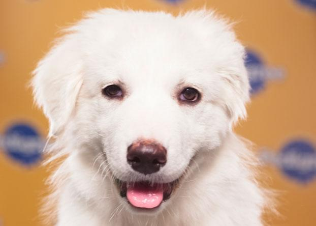 Juniper, a 12-week-old Great Pyrenees, is known as both a lover and a fighter. (Photo by Keith Barraclough/DCL)