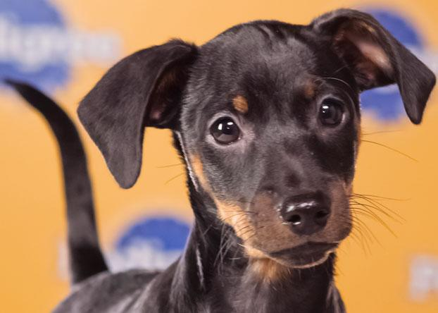 """Winston, a 9-week-old miniature pinscher, was called the cutest of his litter """"and one of the hungriest."""" (Photo by Keith Barraclough/DCL)"""