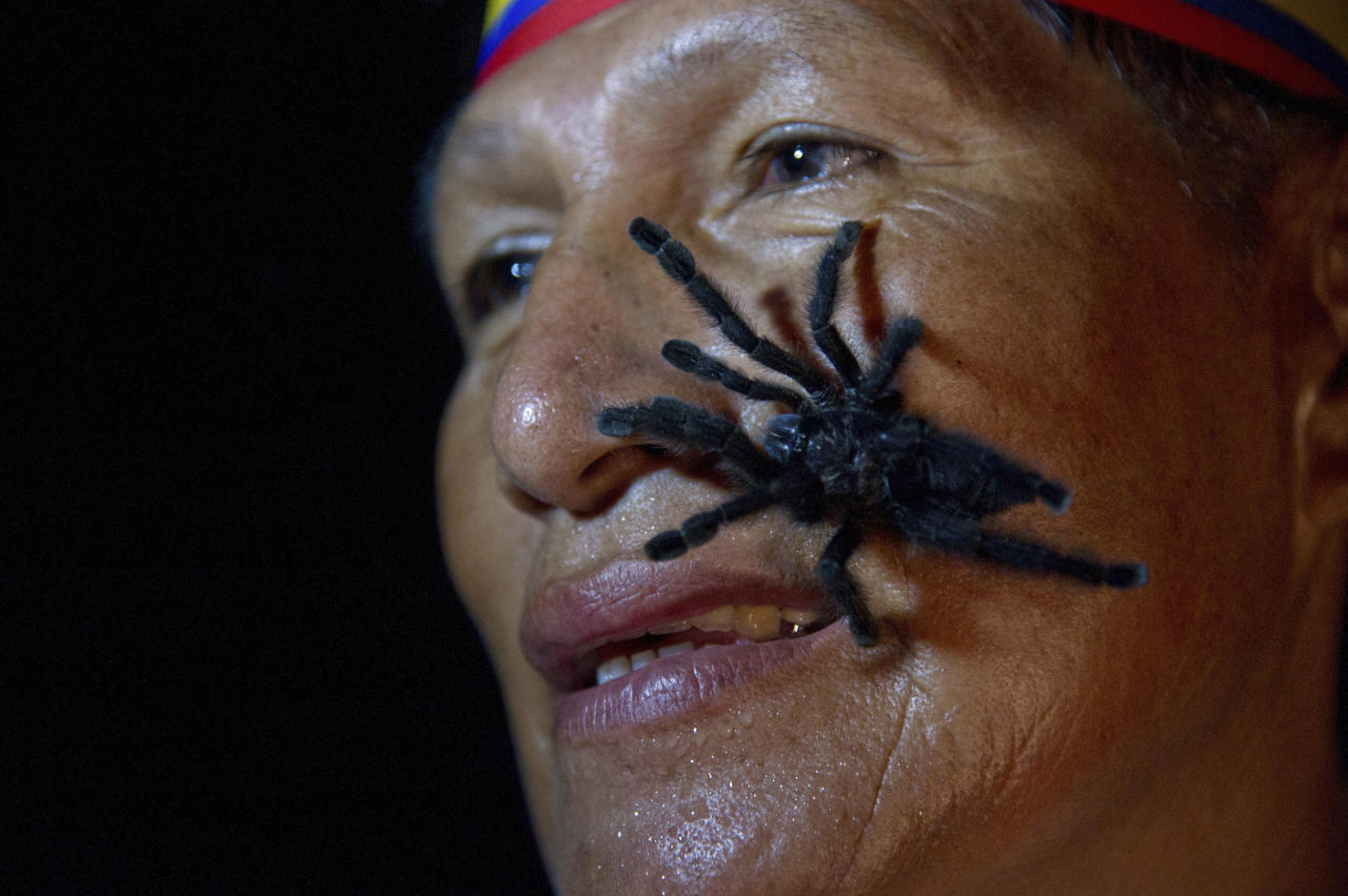 Gabriel Guallo of Ecuador's Quichua tribe stands with a tarantula on his face to demonstrate how he is planning to break a world record, in El Tena October 2, 2012. Guallo hopes to carry 250 tarantulas on his body for 60 seconds during a special ceremony in February 2013 to break what he says is the existing record for most tarantulas carried on the body (240 tarantulas for 30 seconds). REUTERS/Guillermo Granja (ECUADOR - Tags: ANIMALS ENVIRONMENT SOCIETY TPX IMAGES OF THE DAY)