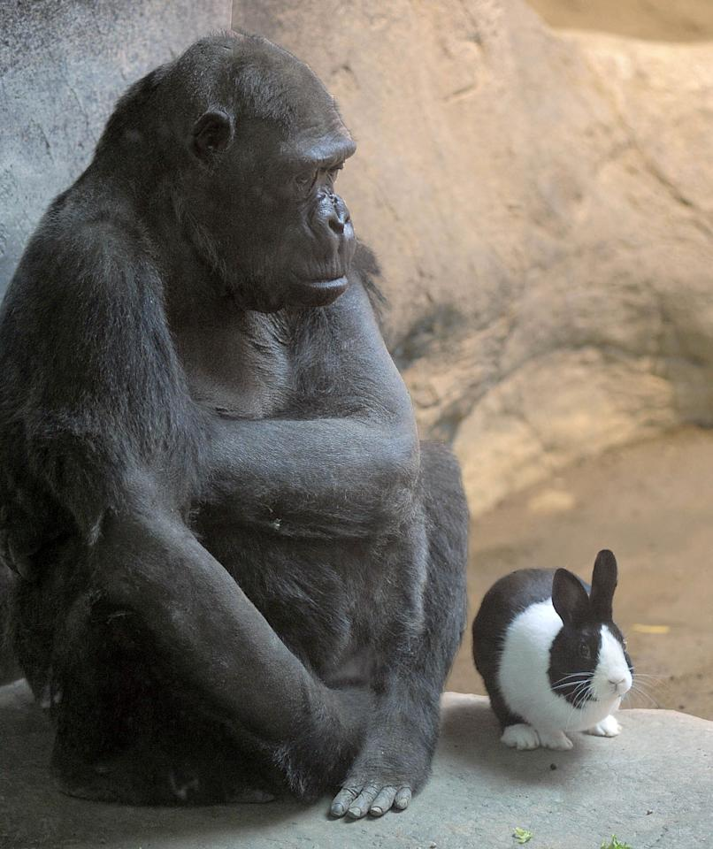The Erie Zoo's lowland gorilla Samantha, left, shares her space with Panda, a Dutch rabbit, at the zoo in Erie, Pa. on Thursday, March 8, 2012. (AP Photo/Erie Times-News, Greg Wohlford) MAGS OUT, TV OUT