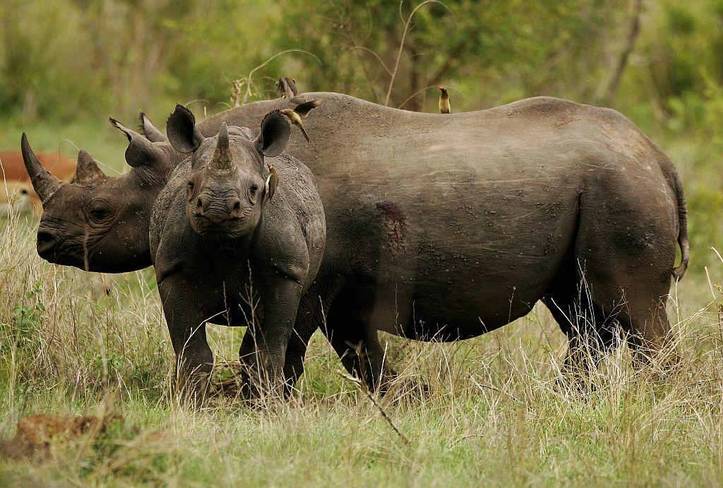 SOUTH AFRICA - DECEMBER 07: A black rhinocerus (Diceros bicornis) mother with calf pictured in the Kruger National Park on December 7, 2007 in Mpumalanga, South Africa. (Photo by Warren Little/Getty Images)