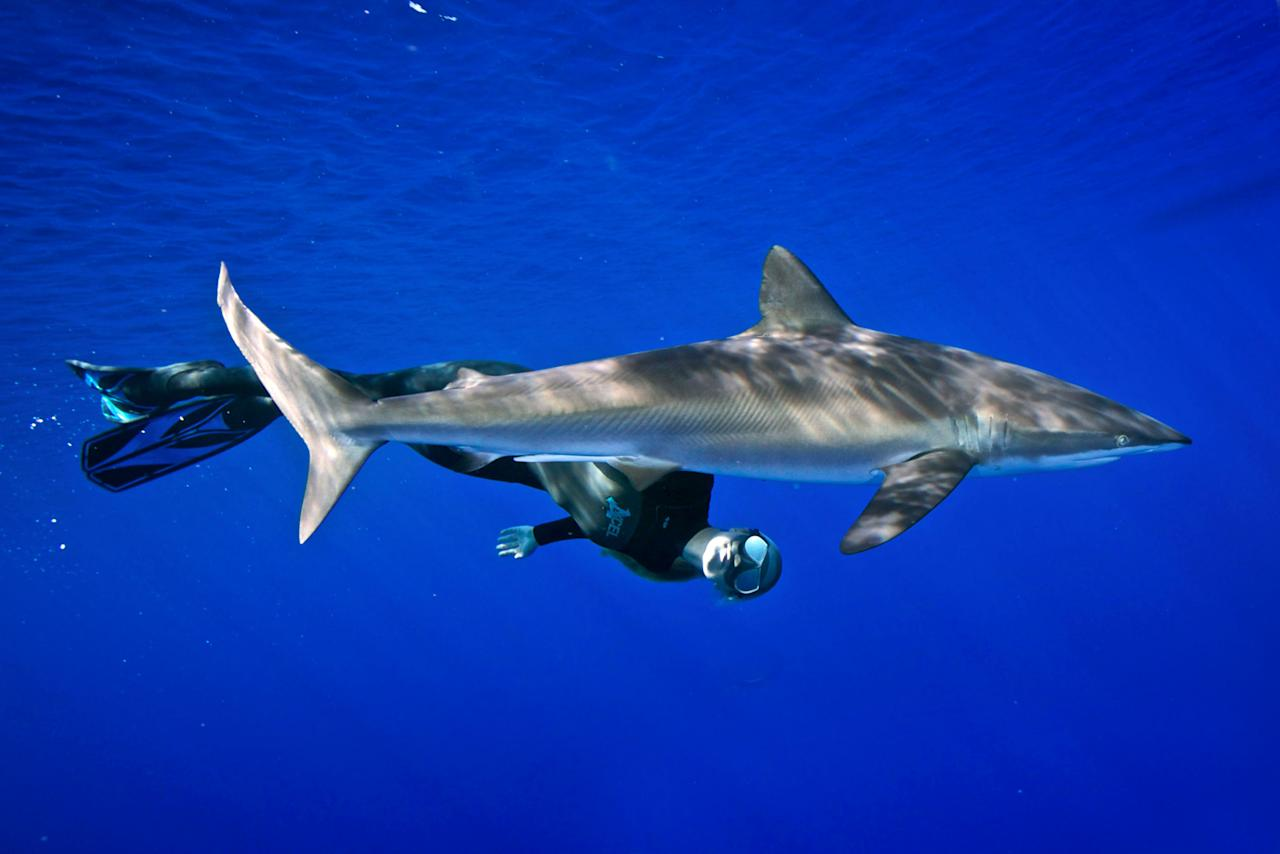 PIC BY JUAN OLIPHANT / CATERS NEWS - (Pictured Ocean Ramsey freediving with a shark) - Meet the woman dispelling the myths about one of the worlds most feared ocean predators by swimming without protection with GREAT WHITE SHARKS. Petite beauty Ocean Ramsey travels the globe swimming with many species of sharks hoping to prove they are nothing like their Jaws film reputation. In these incredible photographs friend Juan Oliphant caught on camera the moment a massive 17-foot Great White let Ocean tail ride through the deep. Shark conservationist Ocean, who is also a scuba instructor, model and freediver, swam with the massive fish in waters off Baja Mexico last year. SEE CATERS COPY.