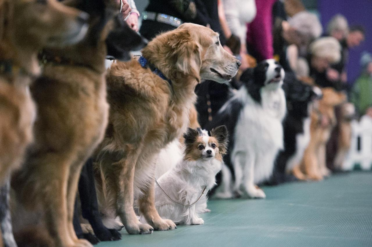 Annual Westminster Kennel Club Dog Show Madison Square Garden Ny