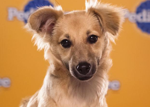 """Willis, a 4-month-old long-haired chihuahua mix, has the """"funniest ears ever."""" (Photo by Keith Barraclough/DCL)"""