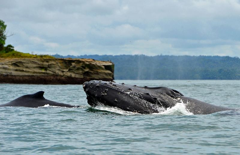 Humpback whales bounce back from the bring of extinction