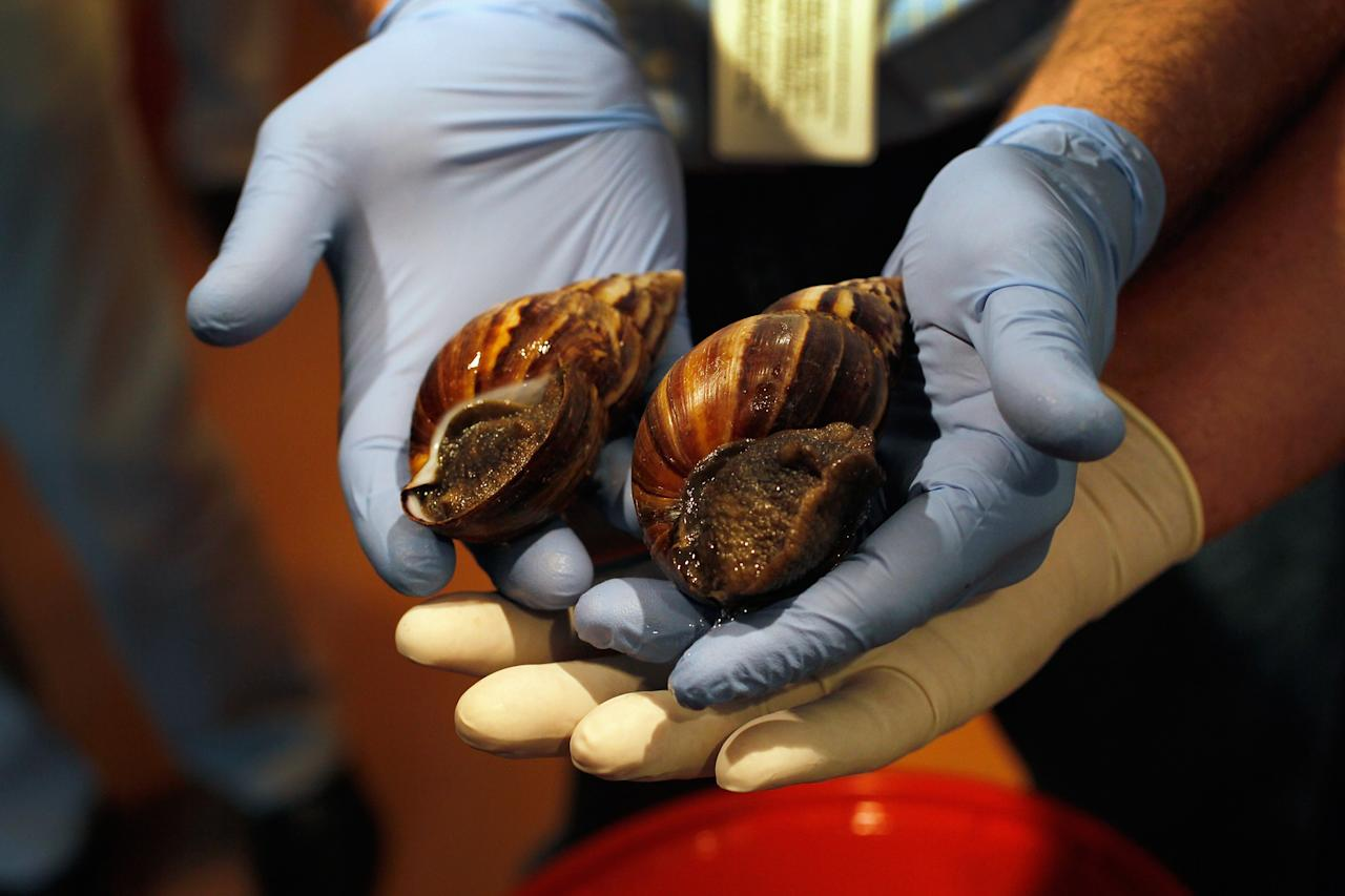 MIAMI, FL - SEPTEMBER 15:  Giant African  land snails are shown to the media as the Florida Department of Agriculture and Consumer Services announces it has positively identified a population of the invasive species in Miami-Dade county on September 15, 2011 in Miami, Florida. The Giant African land snail is one of the most damaging snails in the world because they consume at least 500 different types of plants, can cause structural damage to plaster and stucco, and can carry a parasitic nematode that can lead to meningitis in humans. An effort to eradicate the snails is being launched. The snail is one of the largest land snails in the world, growing up to eight inches in length and more than four inches in diameter.  (Photo by Joe Raedle/Getty Images)