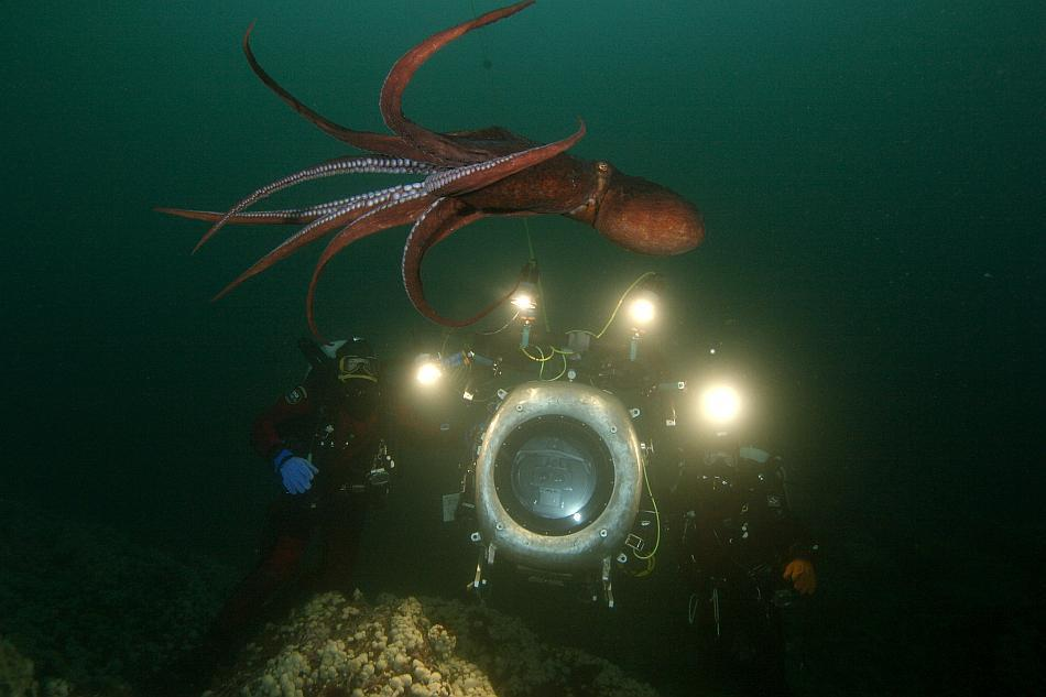 A giant Pacific octopus swims gracefully above the IMAX® camera in the cold waters of British Columbia.