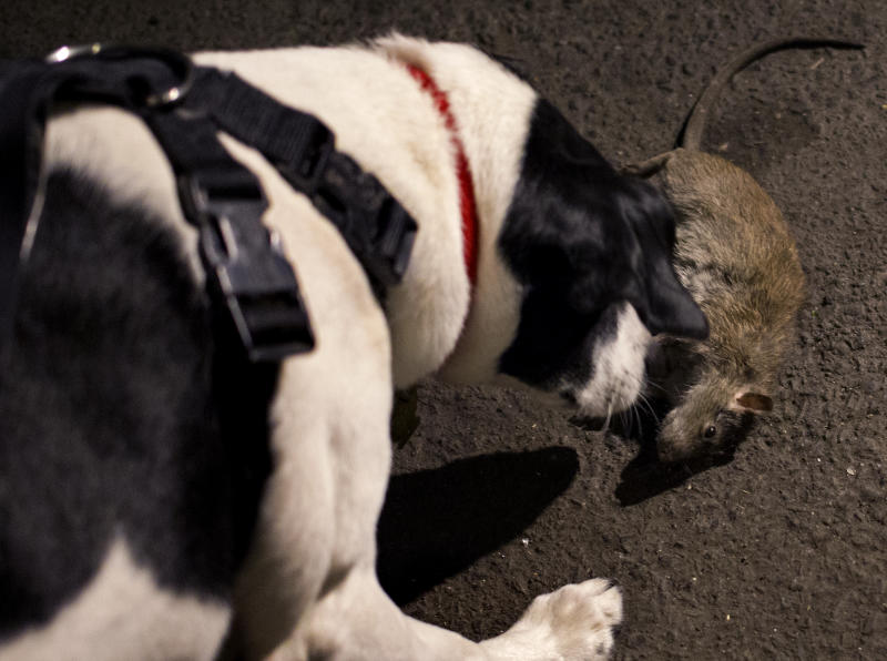 Hunting, NYC style: Owners set dogs on alley rats