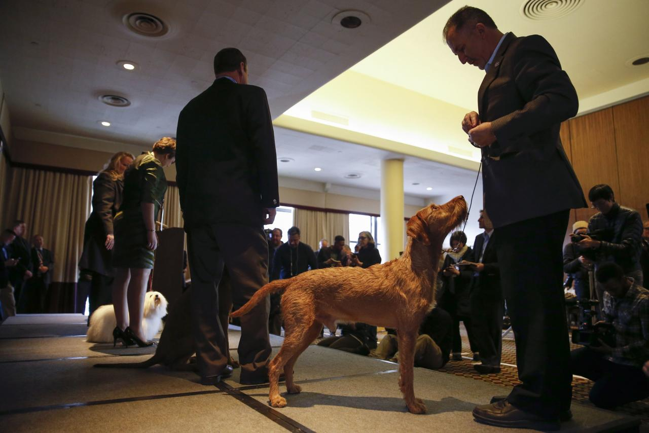 Izzy, a Wirehaired Vizla new entry breed for the competition, stands with its owner during a news conference for the upcoming 139th Annual Westminster Kennel Club Dog Show in New York February 12, 2015.  REUTERS/Shannon Stapleton (UNITED STATES - Tags: ANIMALS SOCIETY)