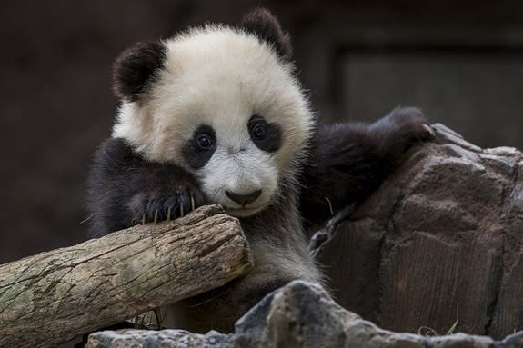Xiao Liwu settling in at the San Diego Zoo's public panda exhibit on Jan. 23, 2013